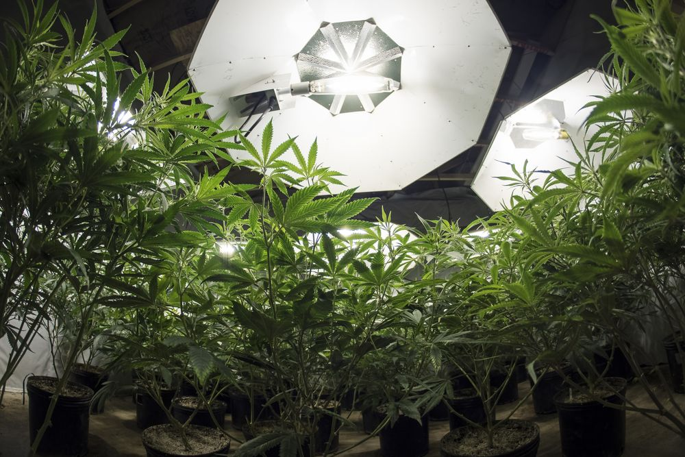Cannabis cultivated indoors
