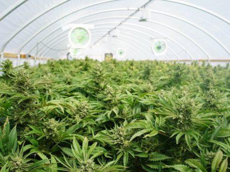 Growing Weed Indoors vs. Growing Weed Outdoors