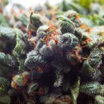 Guide to Autoflowering Marijuana Seeds