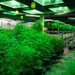 Methods of Growing Medical Weed