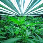indoor growers prefer T5 lights