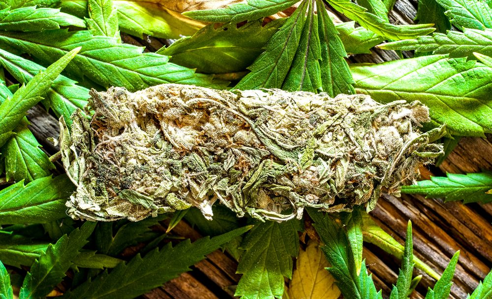 Hemp is indeed a variety of the cannabis sativa plant