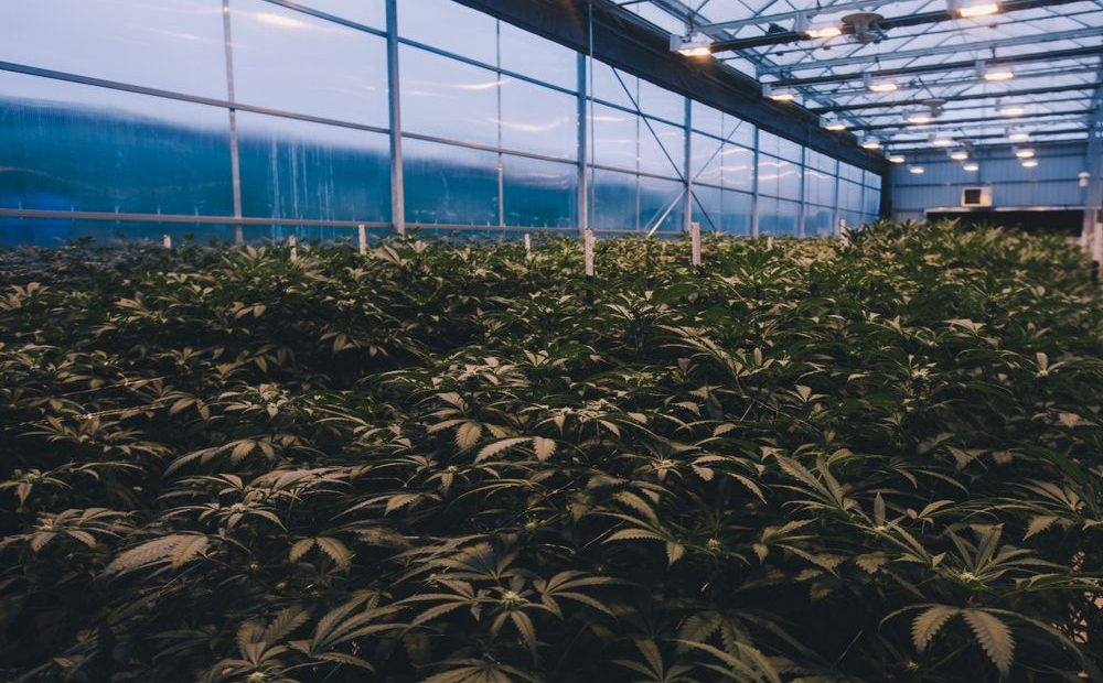 Growing Weed Light Deprivation