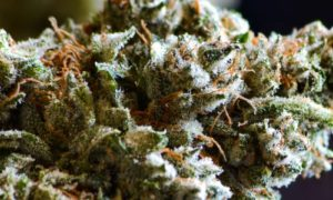 the strongest strain in the history of cannabis