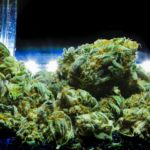 Most Potent Strain of Weed