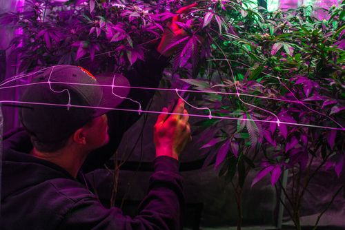 light management like important element to growing weed indoors
