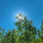 Growing Weed Outdoors: Important Guidelines