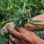 What Factors Affect the Weed's Growing, Harvest, and Availability