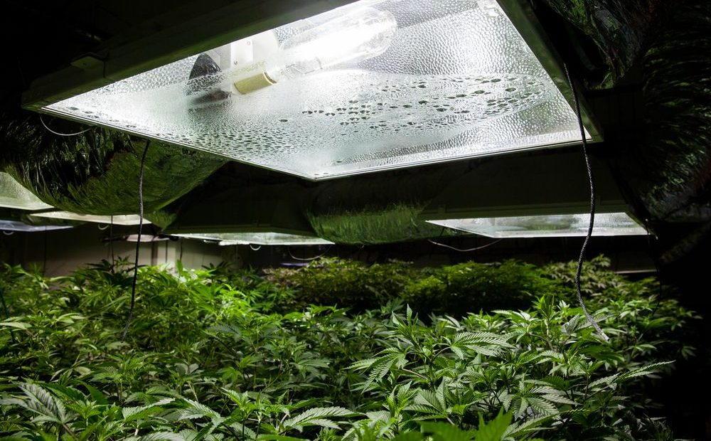 Top Hacks for Growing Excellent-Tasting Weed